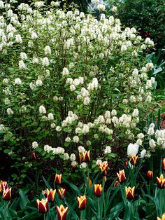 Fothergilla to the rescue if you want a beautiful blooming shrub that thrives in the shade. This compact plant really delivers: It bears clusters of white, fragrant flowers in spring, then in autumn the leaves turn an amazing array of reds, yellows, and oranges.  Shade and moist, well-drained soil.  Up to 6 feet tall wide, depending on type