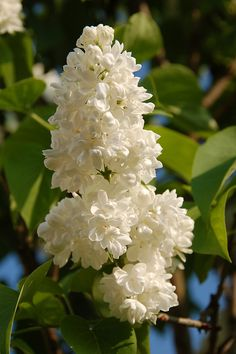 white double lilacs