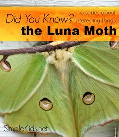 Did You Know? Luna Moth