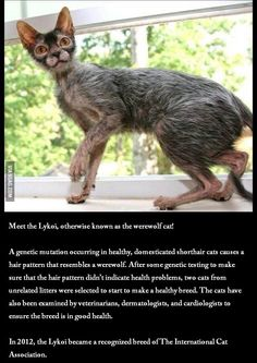 Meet the Lykoi, otherwise known as the werewolf cat!