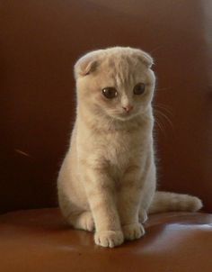 scottish fold kitty