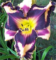 "Phantom Returns - TET (SDLG x Phantom of Gasgone) Sev. 6"" flowers, 27"" scapes, 4 way branching, 28-30 buds.If you like something different, this is your daylily! PHANTOM RETURNS has one of the most sinfully black eye and edges currently in introduction giving the flower an almost ominous look. A real crowd favorite. Fertile both ways. Price: 100.00"