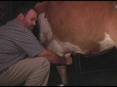 How to milk a cow by hand.