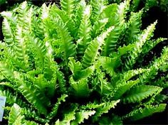 6 Different Ferns You Can Grow Indoors
