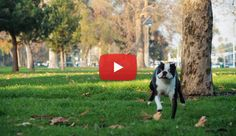 This Boston Terrier dog Never Quits! Watch ► http://www.bterrier.com/?p=1950