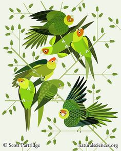 """carolina parakeets"" by Scott Partridge. 16""x20"" http://naturalsciences.org/museum-store/featured-products $175"