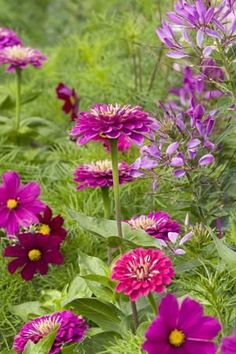 Grow Together: Zinnia, Cosmos and Cleome