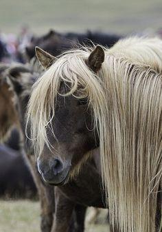 Icelandic horse gathering