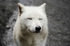 wolf. <3  he/she's actually my spirit animal, and my favorite animal at that.