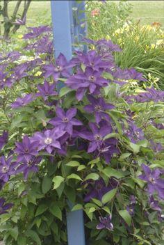 Climbing Clematis flower. Must plant ASAP.