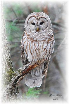 Barred Owl by B Barnes