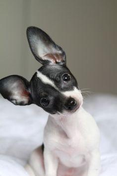 What a precious little Chihuahua ♥♥