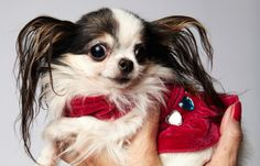 Smallest Dog Living - 4 inches tall