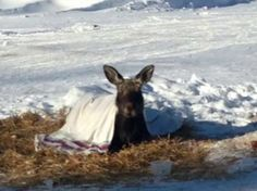 Max the Maine orphaned baby moose to be relocated to the Gray Animal Farm. (video)