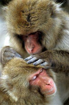 Snow monkeys at Yudanaka Wild Monkey Park, Japan