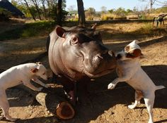 Baby Hippo and Dogs Are Best Friends