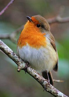 Sweet Little Robin