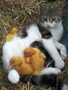 Mama cat nursing kittens and ducklings together