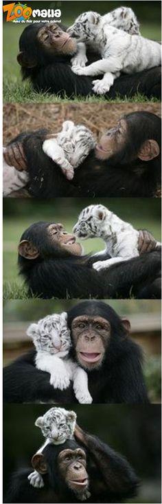 #hugs #tiger #monkey #tendresse #singe #tigre #animalerie #zoomalia