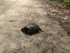 Snapping turtle, spo