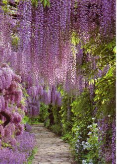 a pathway of wisteria