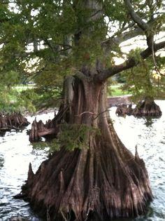 Cypress Tree @ Reelfoot Lake TN