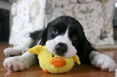 Puppy With a Ducky