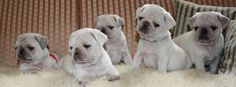 Pug Facebook Cover Photos For Your Timeline. Cute White Pug Puppies