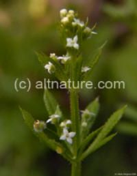 Cleavers herb uses, growing, pictures