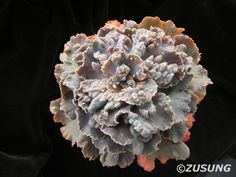 Echeveria 'Nebula'