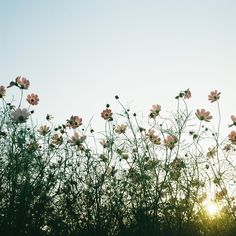 field flowers, dearscienc, dates, colors, backgrounds, cosmos, flower fields, blog, blues