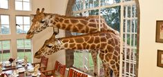anim, boutique hotels, window, giraff manor, kenya, travel, africa, place, giraffes
