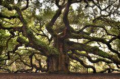 The Angel Oak, Johns Island, South Carolina