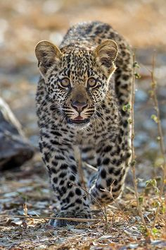 i love leopards!!