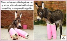 Primrose is a three-week-old donkey who was saved by vets who put her under-developed legs in pink casts until they are strong enough to support her. She was born prematurely which meant the bones in her legs had not developed fully. What a little cutie! ♥