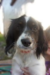Ginger is an adoptable Cavalier King Charles Spaniel Dog in Calabasas, CA. This precious little girl is so sweet!!! She loves everyone - people, dogs, and cats!! Please visit our website 1dogrescue.co...