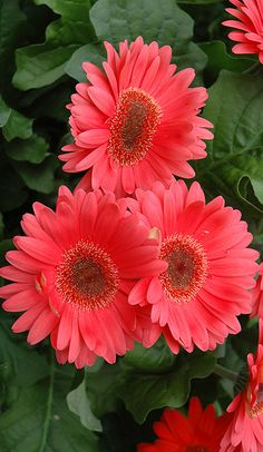 ~~Coral Gerbera Daisy | features bold coral-pink daisy flowers with yellow eyes at the ends of the stems from early summer to mid fall | Shelmerdine~~