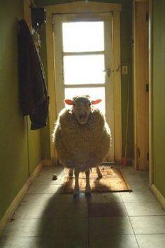 sheep at the back door... farm, the doors, anim, pet, hous, lamb, homes, counting sheep, shaun the sheep