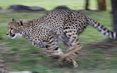 Ailsa the ten month old female cheetah cub runs in her enclosure at the National Zoo and Aquarium in Canberra, Australia. The zoo has imported two new Cheetah cubs from South Africa as part of the expansion of their Africa section.