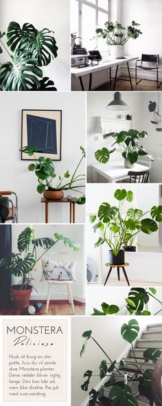 Monstera XL (therust