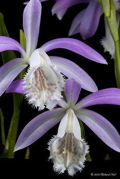 Pleione formosana orchid
