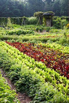 plant, kitchen garden, veget garden