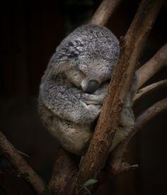 Koalas sleep up to 20 hours each day.