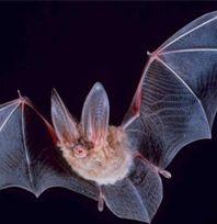 song, urban legends, animals, bats, joke, animal totems, bat hous, project ideas, finger plays