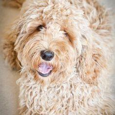 dog boarding, labradoodl ador, fluffi labradoodl, puppi dog, ador cutedog, doggi obsess