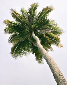 A coconut tree (palm tree) by kcbimal, via Flickr