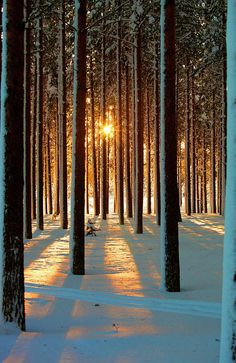 Pine trees with snowy landscape at sunset in winter.