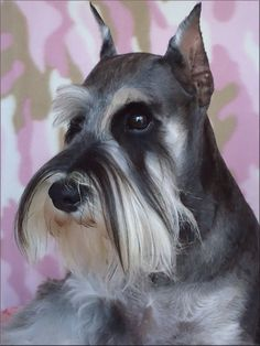 This is one of the most beautiful mini schnauzers I have ever seen