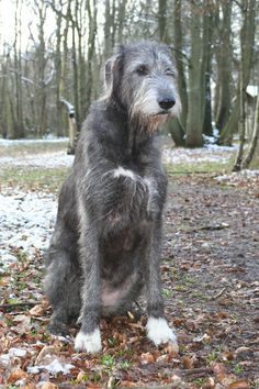 Irish Wolfhounds are so cute :)