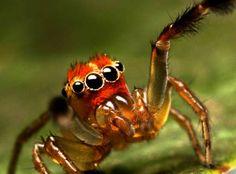 Orange Faced #Jumping #Spider